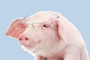 pig with spectacles